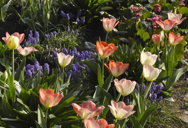 Bunte Tulpen im Foerster-Garten